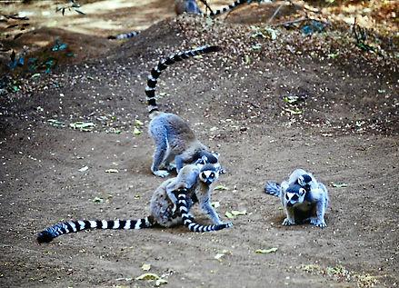 Ring-tailed Lemur 04a, Berenty, Madagasc
