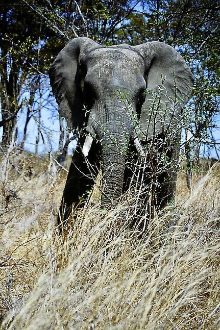 African Elephant 33a, Zimbabwe, 9_98.jpg