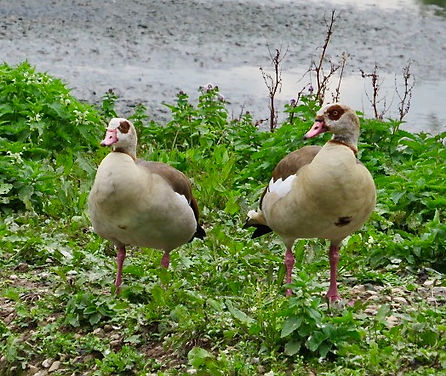 Egyptian Geese 01, Slimbridge, 14:7:20.j