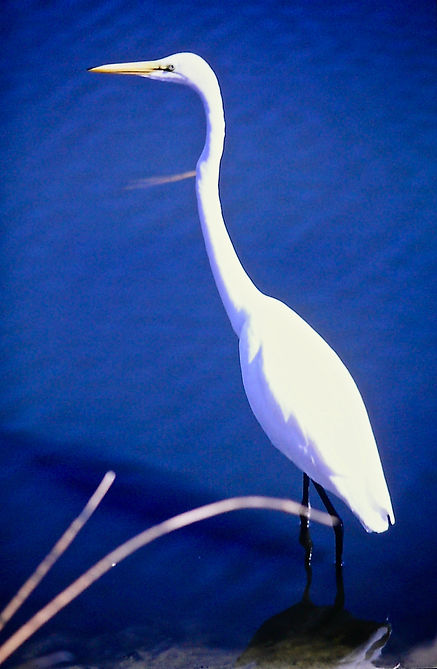 Great Egret 02a, Virginia, 19-10-87.jpg