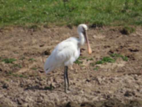Spoonbill 180624-03, Slimbridge, 24_6_18