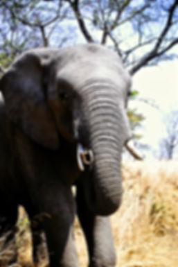 African Elephant 23a, Zimbabwe, 9_98.jpg