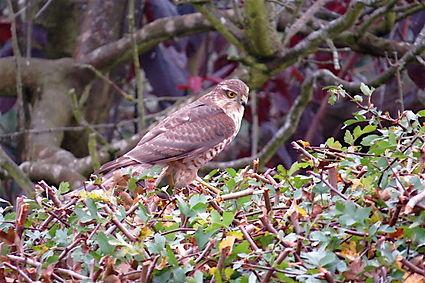 Sparrowhawk 20a, Portishead, 27_10_15.jp