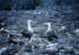 Waved Albatross 02a, Hood Galapagos, 25-