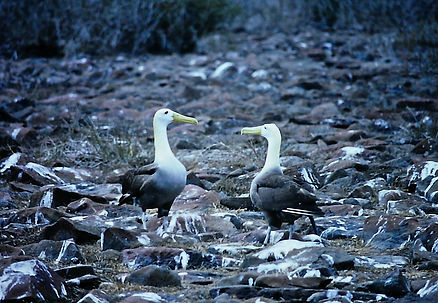 Waved Albatross 02a, Hood Galapagos, 25-