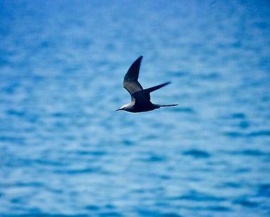Common Noddy 10a, Michaelmas Cay, Aust,