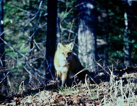 Red Fox 02a, Eastern American,  Algonqui