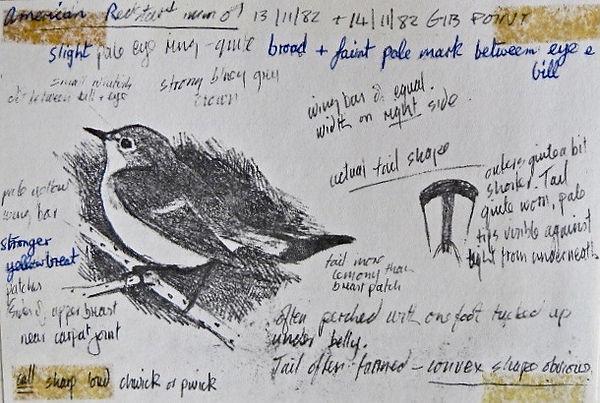 American Redstart, LAT, Gibraltar Point,