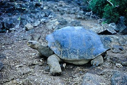 Giant Tortoise 01a, Galapagos, 7_86.jpg