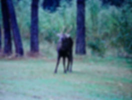 Sika Deer 01a, Maryland, 10_87.jpg