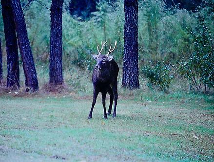 Sika Deer 01a, Maryland, 10_87.jpg