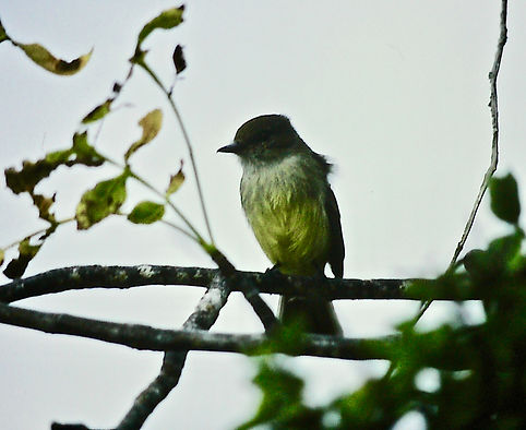 Galapagos Flycatcher 01a, Floreana, 25_7