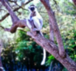 Verreaux's Sifaka 08a, Berenty, Madagasc