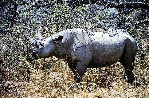 Black Rhinoceros 02a, Zimbabwe, 9_98.jpg