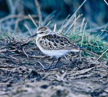 Little Stint 03a, Marazion, 8_9_75.jpg