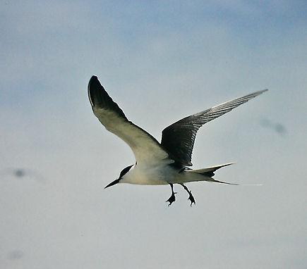 Sooty Tern 08a, Michaelmas Cay, Aust, 18