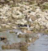 Little Ringed Plover 18913-05, juv, Slim