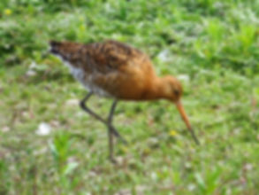 Black-tailed Godwit 17602, Slimbridge, 1