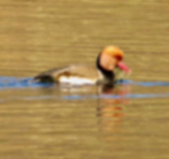 Red-crested Pochard 200104-09, Cotswold