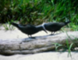 Common Noddy 06a, Michaelmas Cay, Aust,
