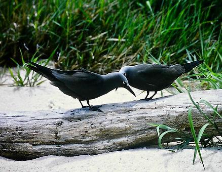 Common Noddy 06a, Michaelmas Cay, Aust,