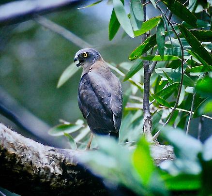 Collared Sparrowhawk 02a, Kakadu, Oz, 29