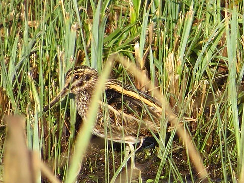 Jack Snipe 190108-02, Slimbridge.jpg
