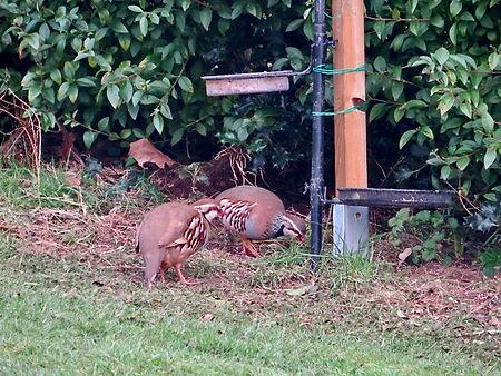 Red-legged Partridge, Elm Lodge, 9-3-21.