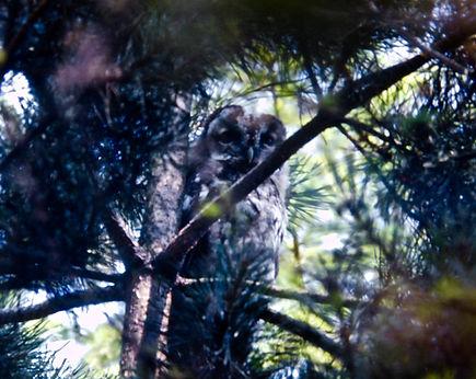 Tawny Owl 01a, Frampton, 10-7-76.jpg