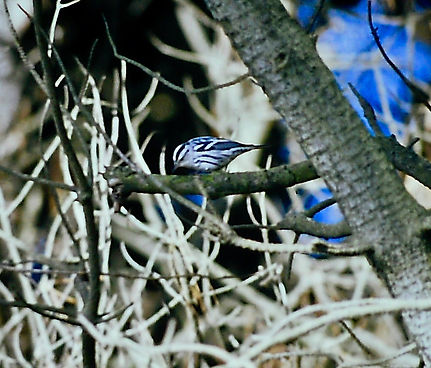 Black-and-white Warbler 04b, St Mary's,