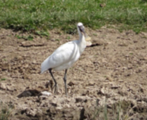 Spoonbill 180624-06, Slimbridge, 24_6_18