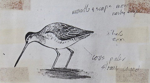Long-billed Dowitcher, LAT 01, CVL, 1_10