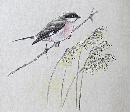 Lesser Grey Shrike, LAT, Holme, 2_11_75.