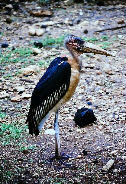 Marabou Stork 03a, Tsavo, Kenya, 3-12-88
