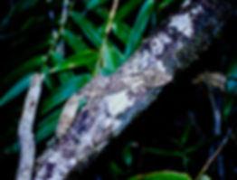Leaf-tailed Gecko 04a, Ranomafana, 15_11