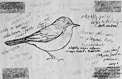 Asian Desert Warbler, LAT, Meols, 3_11_7