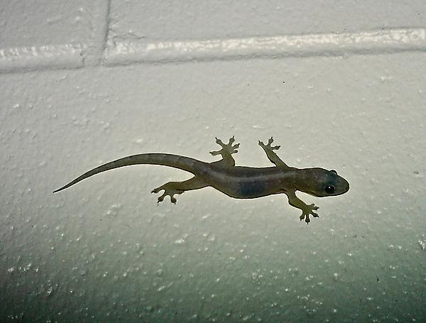 Asian House Gecko 02a, Queensland, 11_93