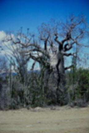 Fony Baobab, Adansonia rubrostipa 02a, S