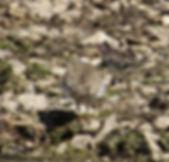 Little Ringed Plover 18913-10, juv, Slim