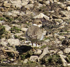 Little Ringed Plover 18913-10, juv, Slim