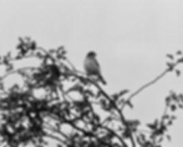 Woodchat Shrike 04a, Pagham, 26_9_76.jpg