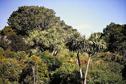 Cabbage Tree 01a, Ulva Is, Stewart Islan