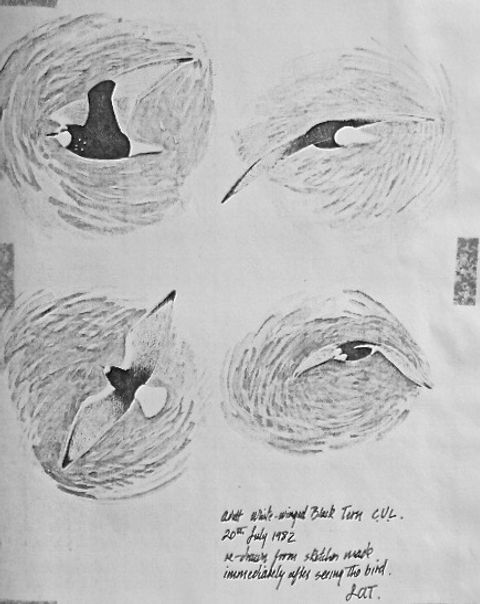 White-winged Black Tern LAT01, CVL, 20_7