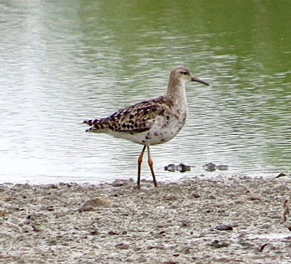 Ruff 17803a, Slimbridge, 8_8_17.jpg