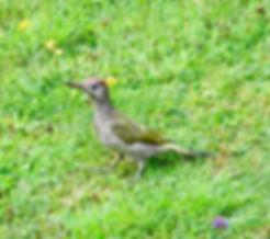 Green Woodpecker, Elm Lodge, 11_8_19 08.
