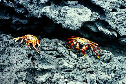 Sally Lightfoot Crab 02a, Galapagos, 7_8