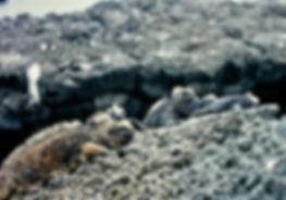 Marine Iguana 15a, Santiago, Galapagos,