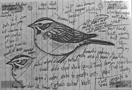 Lark Sparrow LAT02, Landguard Point, 1_7
