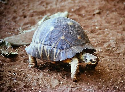 Radiated Tortoise 04a, Berenty, Madagasc