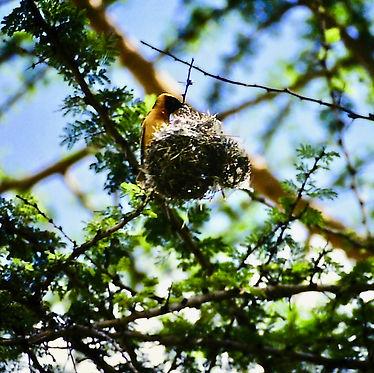 Lesser Masked Weaver 01a, Kenya, Dec'88.